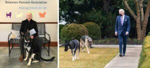 joe biden dog major shelter pet rescue 923x420 1